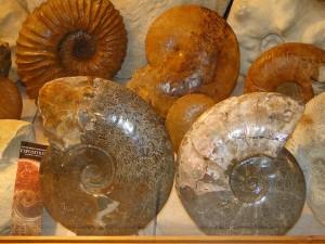Ammonites- expo Dépré_resultat